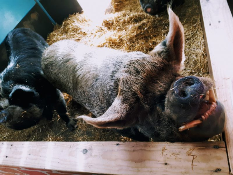 expat day out on a farm - pig photo