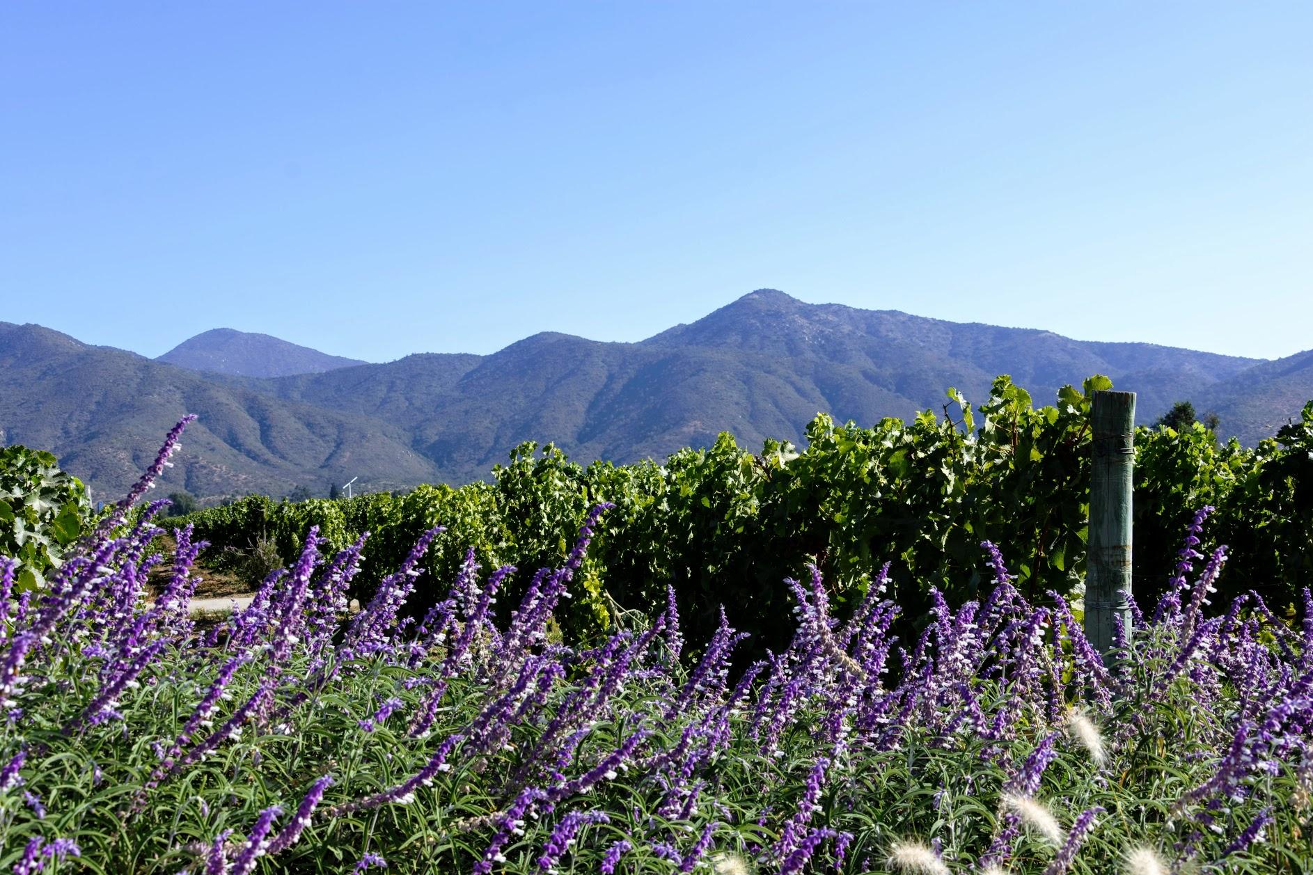 beautiful vineyard chile