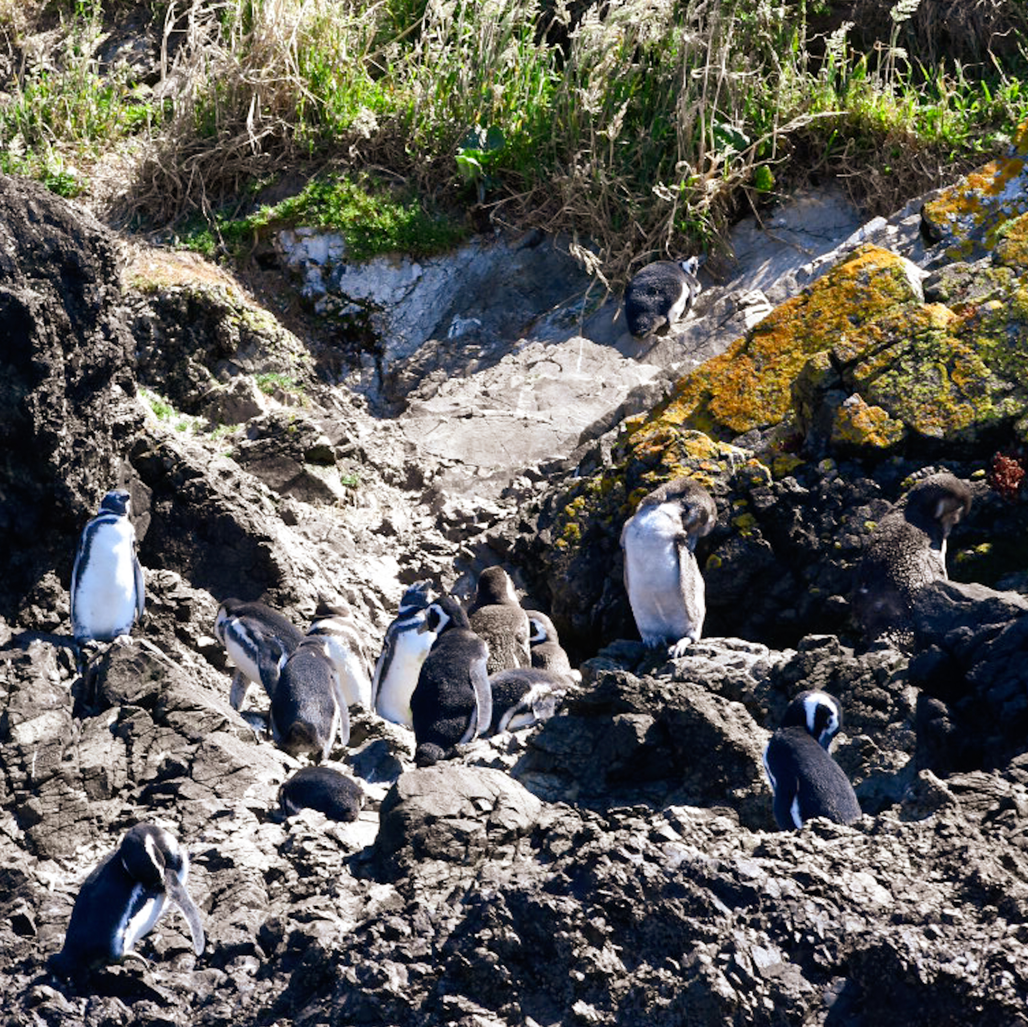 Chiloe penguins