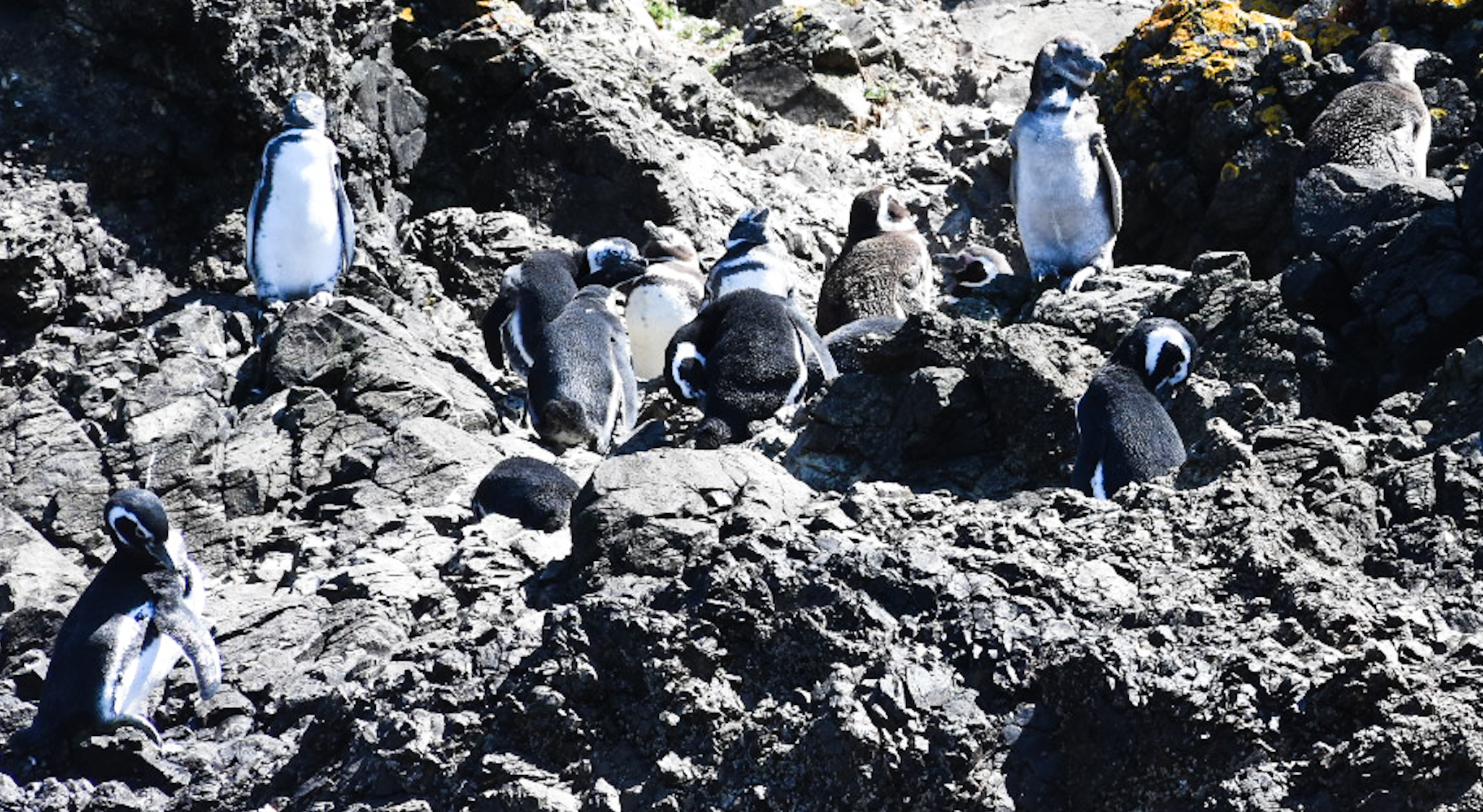 punihuil penguin colony tour