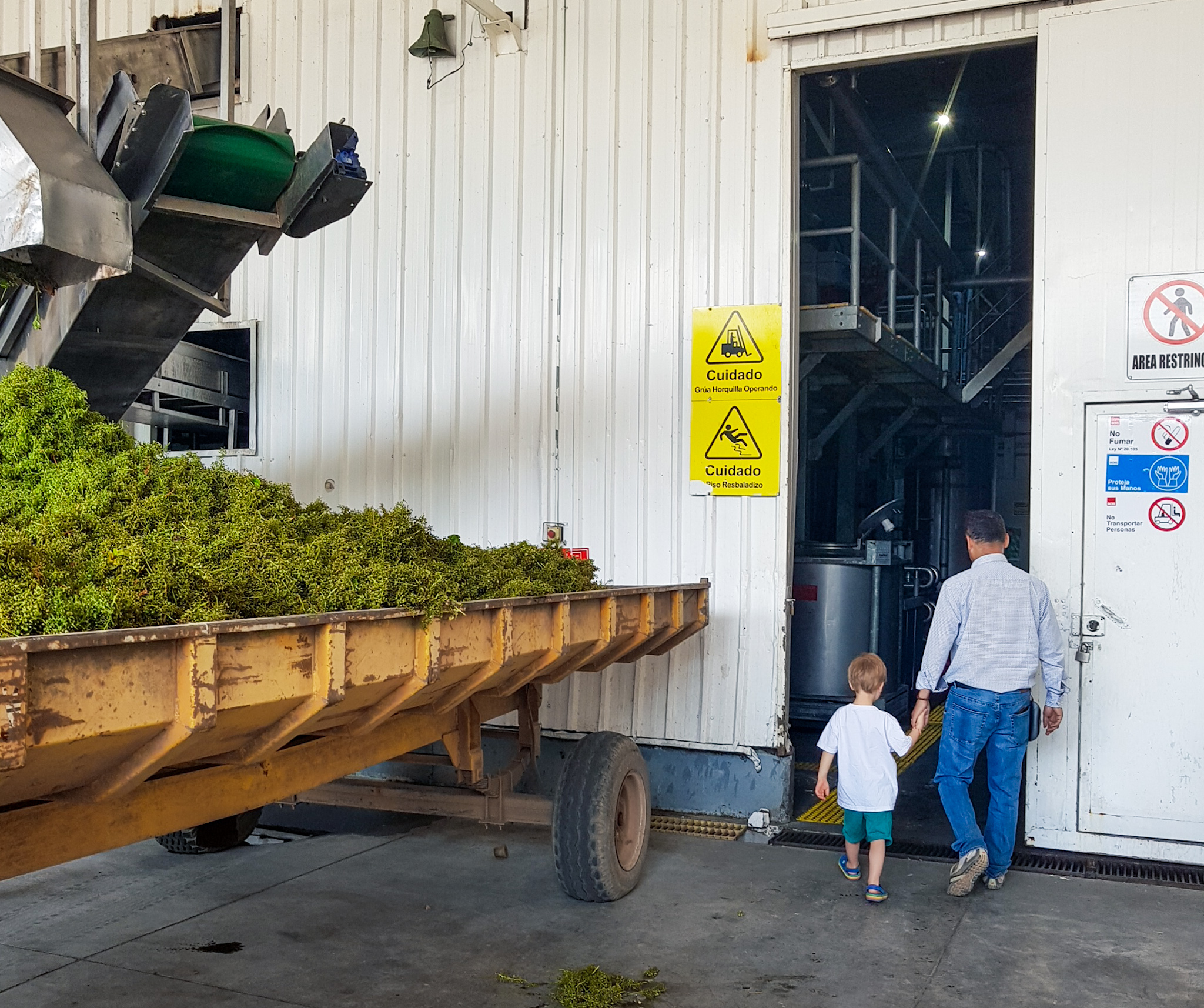 wine harvest chile
