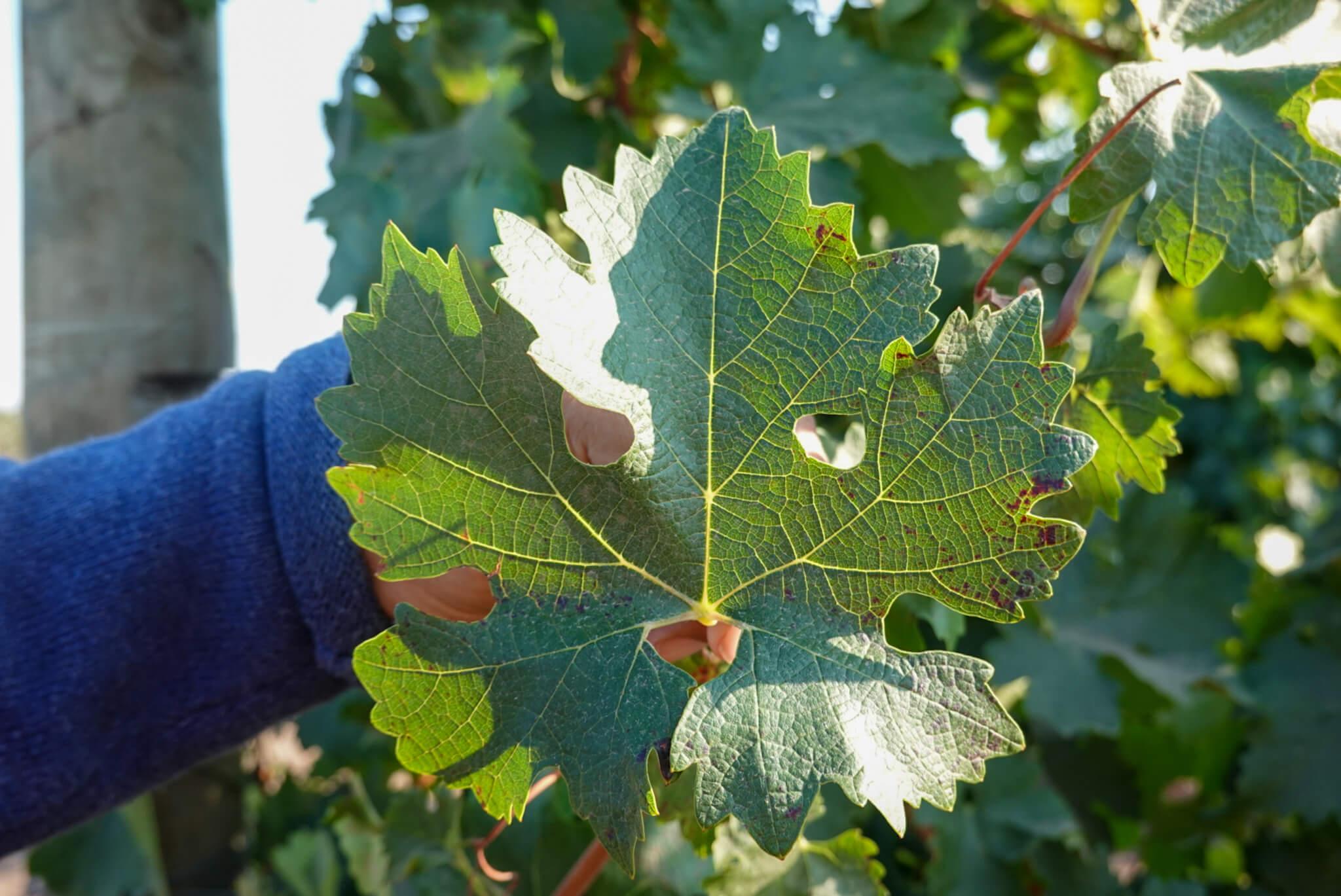 Sauvignon Blanc leaf